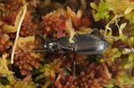 Pterostichus oblongopunctatus